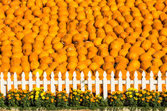 The Great Wall of Pumpkins! royalty free stock photo