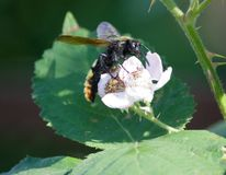 Giant wasp on a flower  Scolia maculata Stock Photo