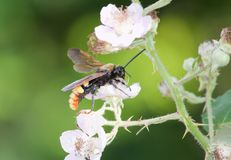 Giant wasp on a flower. Blackberry Scolia maculata Stock Photography