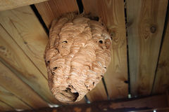 Giant wasp hive hanging from the ceiling royalty free stock photo