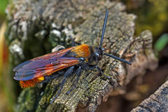 Giant wasp or Scolia Stock Image