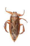Giant water bug. The giant water bug isolated on a white background royalty free stock photo