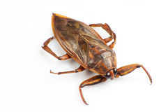Giant water bug. The giant water bug isolated on a white background stock photography