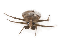 Giant Water Bug Royalty Free Stock Photos