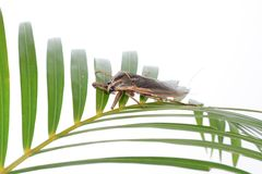 Giant water bug. Close up giant water bug stock image