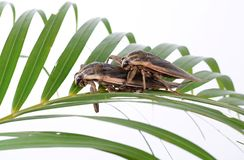 Giant water bug. Close up giant water bug royalty free stock photo