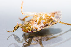 Giant Water Bug dies isolated Stock Photography