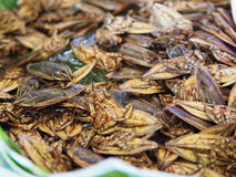 Giant water bug. Insects in basket stock image