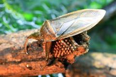 Giant water bug Stock Image