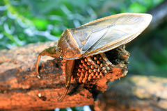 Giant water bug. (Lethocerus deyrollei) in Japan stock image