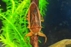 Giant water bug. (Lethocerus deyrollei) in Japan royalty free stock photography