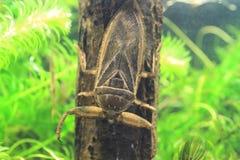 Giant water bug. (Lethocerus deyrollei) in Japan royalty free stock photos