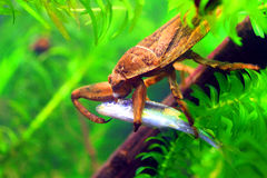 Giant water bug. (Lethocerus deyrollei) in Japan stock images