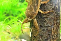 Giant water bug. (Lethocerus deyrollei) in Japan royalty free stock image