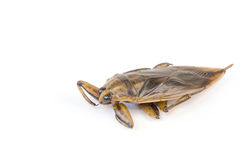 Giant water bug (Lethocerus indicus). Giant water bug, as the wings are cooking stock image