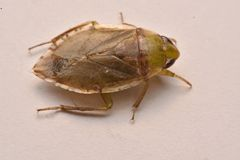 Giant Water Bug Nymph Family Belostomatidae. Small insects live in water royalty free stock photos