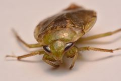 Giant Water Bug Nymph Family Belostomatidae. Small insects live in water stock image