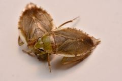Giant Water Bug Nymph Family Belostomatidae. Small insects live in water royalty free stock photography