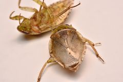 Giant Water Bug Nymph Family Belostomatidae. Small insects live in water royalty free stock image