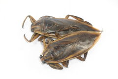 Giant water bug. On white background royalty free stock photography