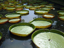 Giant Water Lilies. In the Botanic gardens in Mauritius Royalty Free Stock Photos