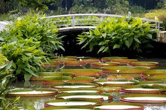 Giant Water Lilies Stock Photos