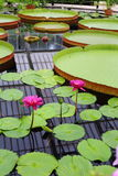 Giant Water Lilies And Lotuses Stock Images