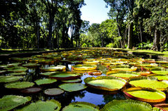 Giant water lilies in Pamplemousses garden in Mauritius Stock Photography