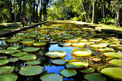 Giant water lilies in Pamplemousses garden in Mauritius Royalty Free Stock Photos