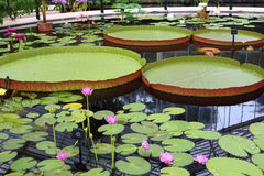 Giant Water Lilies Royalty Free Stock Images