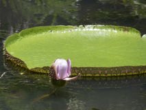 Giant water lilies royalty free stock photography