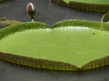 Giant water lilies Stock Images