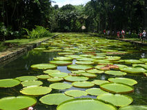 Giant water lilies royalty free stock image