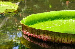 Giant water lilies Victoria Amazonica royalty free stock image