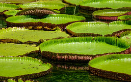 Giant water lilies Victoria Amazonica Stock Photo