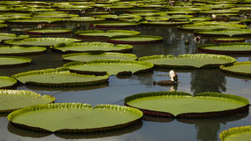 Giant water lily. In the pond Stock Image