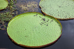Giant Water Lily Royalty Free Stock Photos