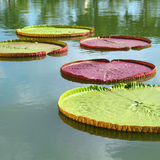 Giant Water Lily Stock Photo