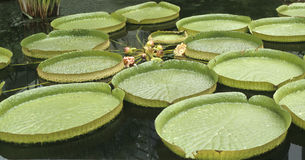 Giant water lily royalty free stock image