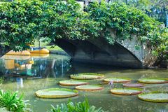 Giant Water Lily in the canal Royalty Free Stock Image