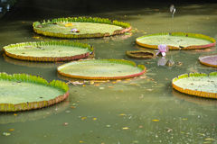 Giant Water Lily in the canal Royalty Free Stock Images
