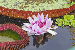 Giant Water Lily and its lily pad Royalty Free Stock Photography