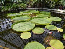 Giant water lily leaves. In Botanical Garden Cluj-Napoca, Romania Royalty Free Stock Photos