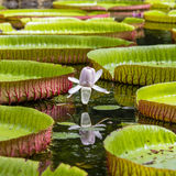 Giant water lily in Pamplemousse Botanical Garden. Island Mauritius Royalty Free Stock Photography