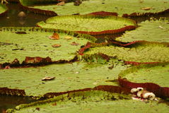 Giant water lily (Vicoria amazonica) at first night flowering. Royalty Free Stock Photo