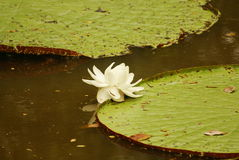 Giant water lily (Vicoria amazonica) at first night flowering. Royalty Free Stock Photos
