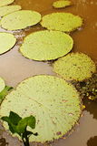 Giant water lily (Vicoria amazonica) at first night flowering. Stock Photos