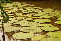 Giant water lily (Vicoria amazonica) at first night flowering. Stock Photo