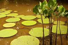 Giant water lily (Vicoria amazonica) at first night flowering. Stock Image