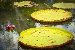 Giant Waterlilies Stock Image